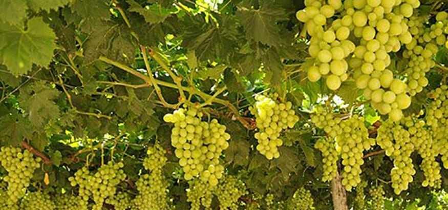 USO firma el convenio vitivinícola de Murcia que recoge una subida salarial del 2%